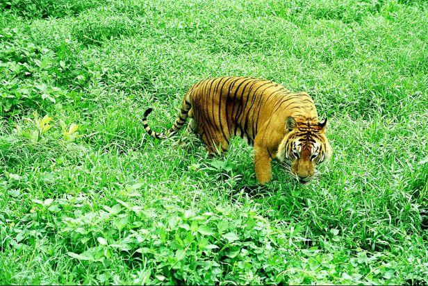 1024px-Roaming-royal-bengal-tiger