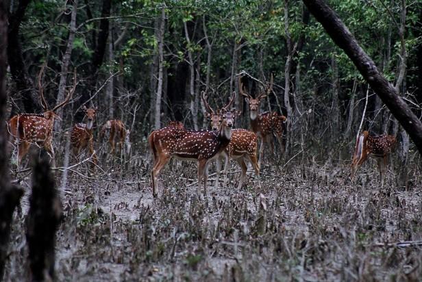 Spotted-deer-2008